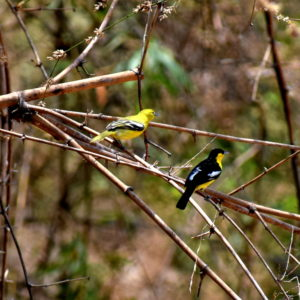 Common-Iora-Pair-the-female-in-yellow-male-in-black-plummage-at-Godibari-Chandaka