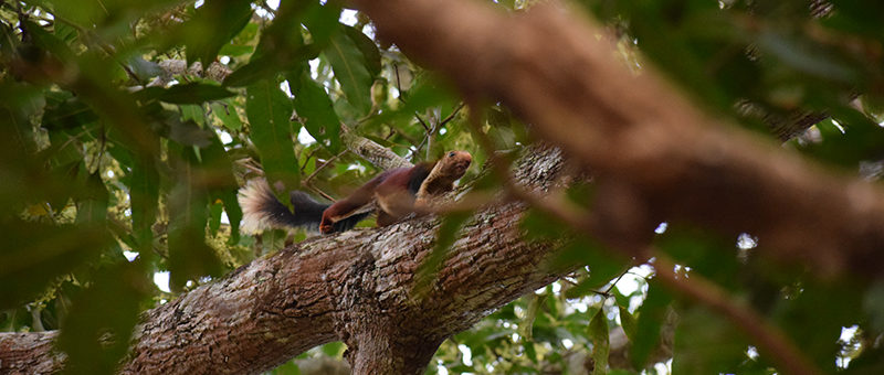 Giant Malabar Squirrel at the Satkosia Forest Reserve, Badamul