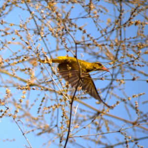 Golden-Oriole-in-flight-at-Godibari-Chandaka