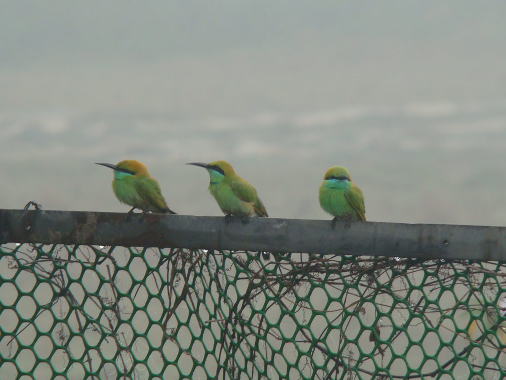 Green bee eaters at Rambha Panthanivas