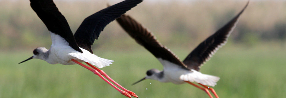 Pair-of-Black-Winged-Stilts-in-flight-pic-by-Debarpita-Mohapatra