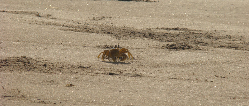 Crab-at-Brahmagiri-Beach