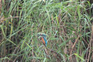 Common-Kingfisher-at-Mangalajodi