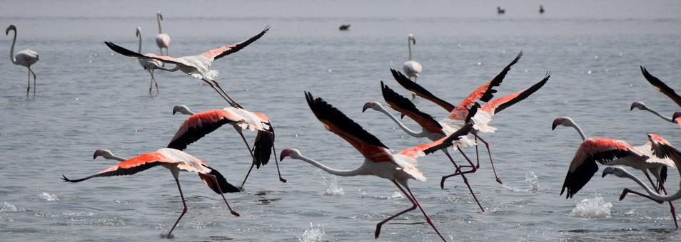 Flamingos-in-flight-at-Chilika