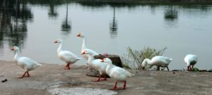 Swans-at-the-pond-near-the-Akhandaleswar-Temple-Prachi-Valley