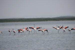 Flamingos-at-chilika